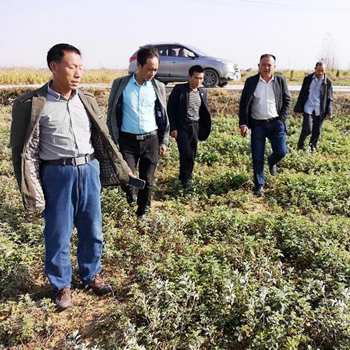 芜湖种植大户考察绿爱后当即采购大量艾苗育苗