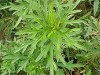 安徽绿爱生物-食用艾