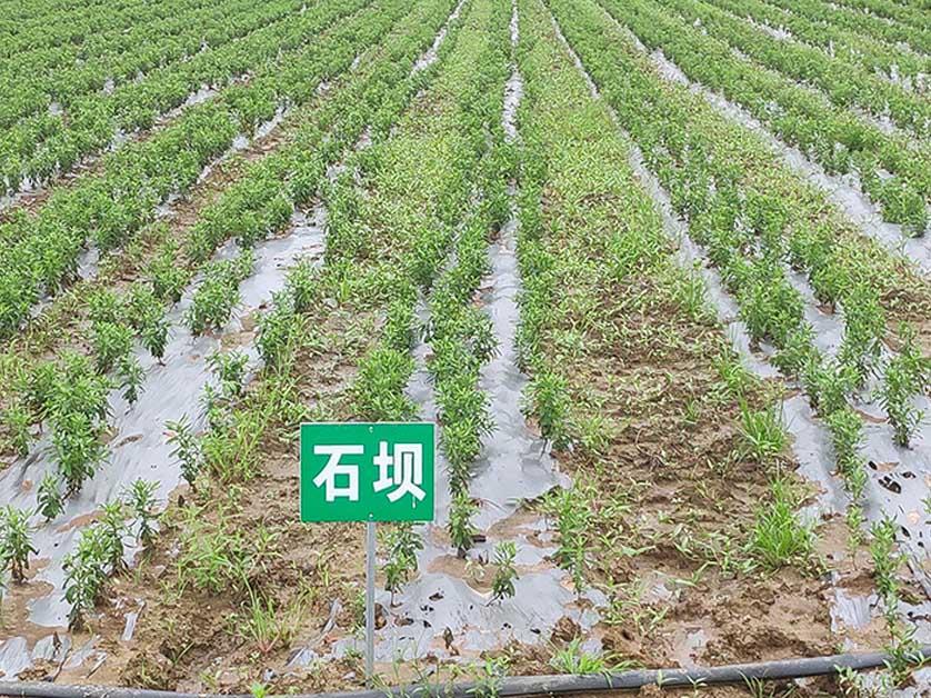 绿爱拥有独特的艾草种植方法-科学艾苗种植