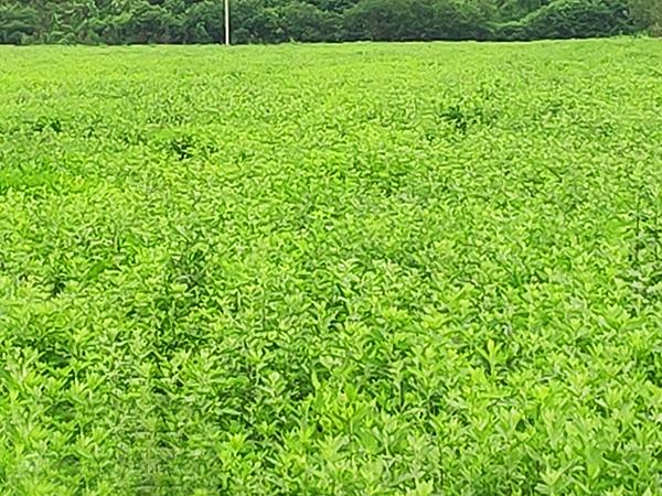 艾草种植园4