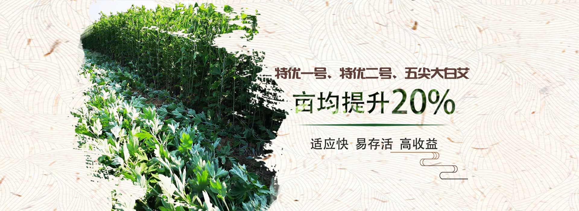绿爱-艾苗品种