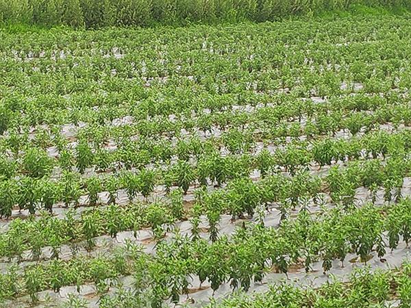 安徽绿爱艾草种植基地二